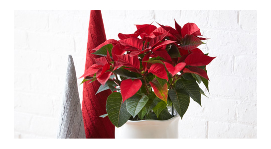 15 things you didn't know about poinsettias