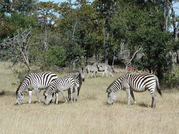 zebra reference photo